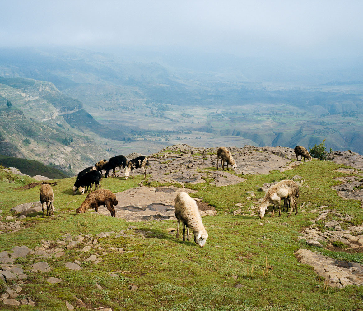 Sheep grazing in the Wollo Highlands, Ethiopia